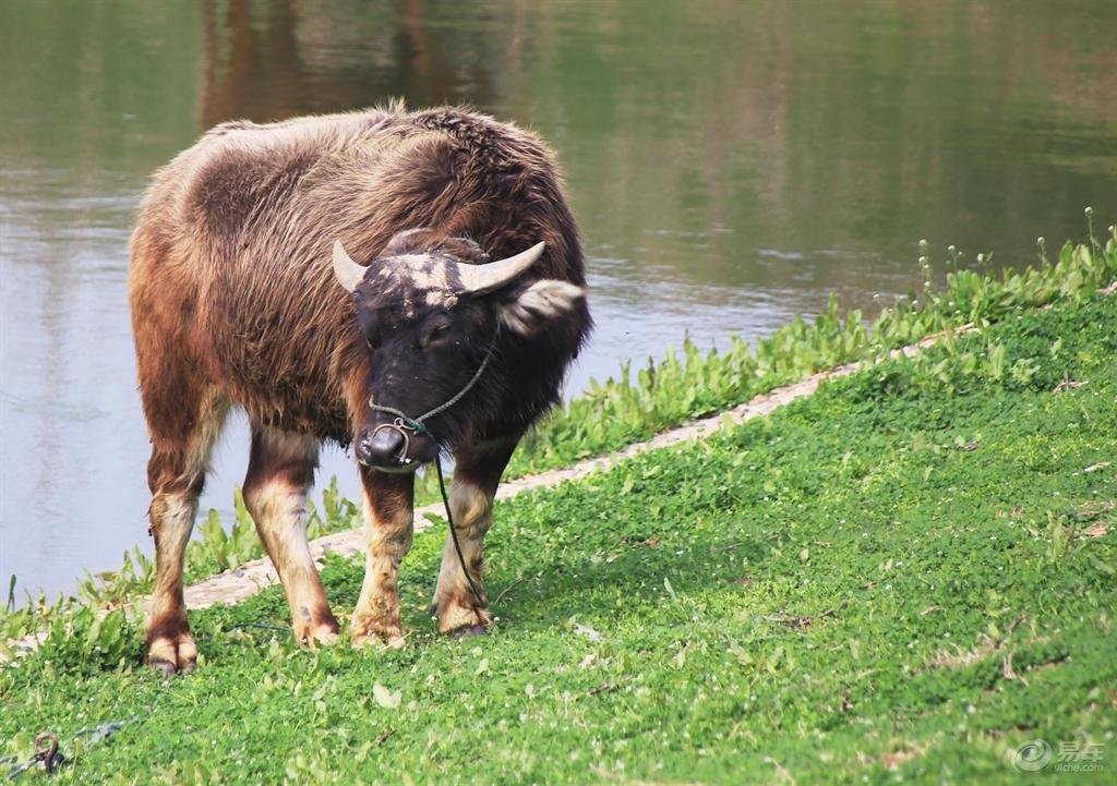河边吃草的水牛