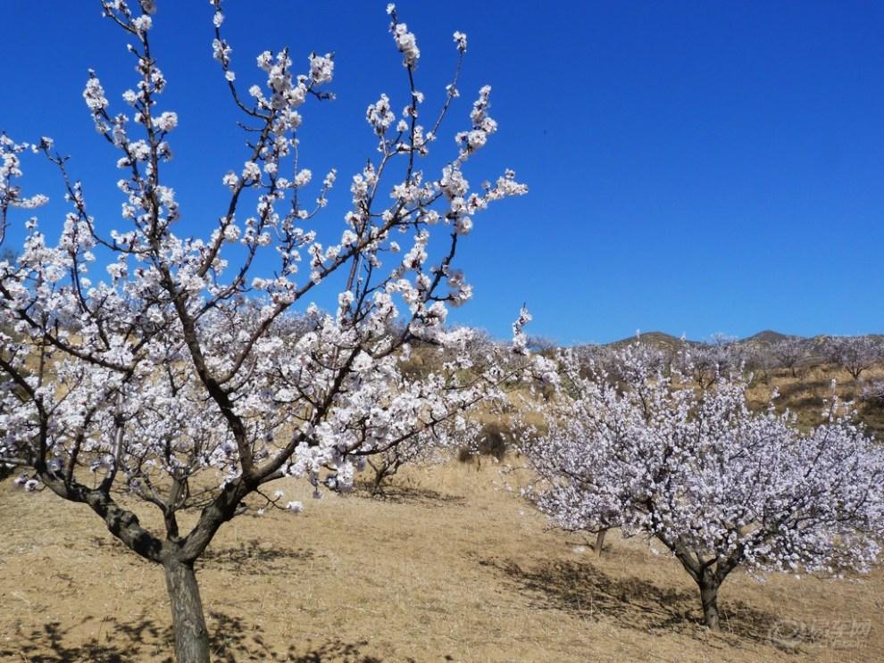 杏树施用有机肥的方法
