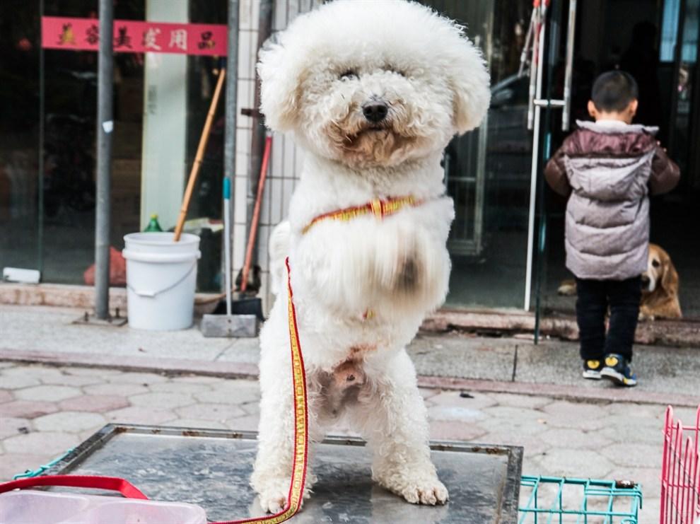 【【宠物造型秀】比熊犬欢迎你!