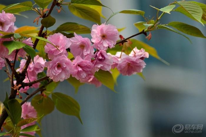 樱花 摄影/樱花是樱树的花,在分类学上属于蔷薇科樱属,和樱桃同属蔷薇科...