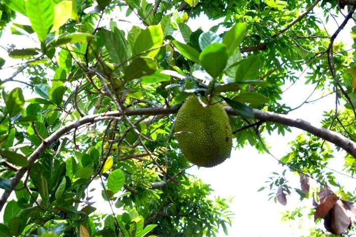 登越南美托泰山岛,赏湄公河,品热带水果(二)