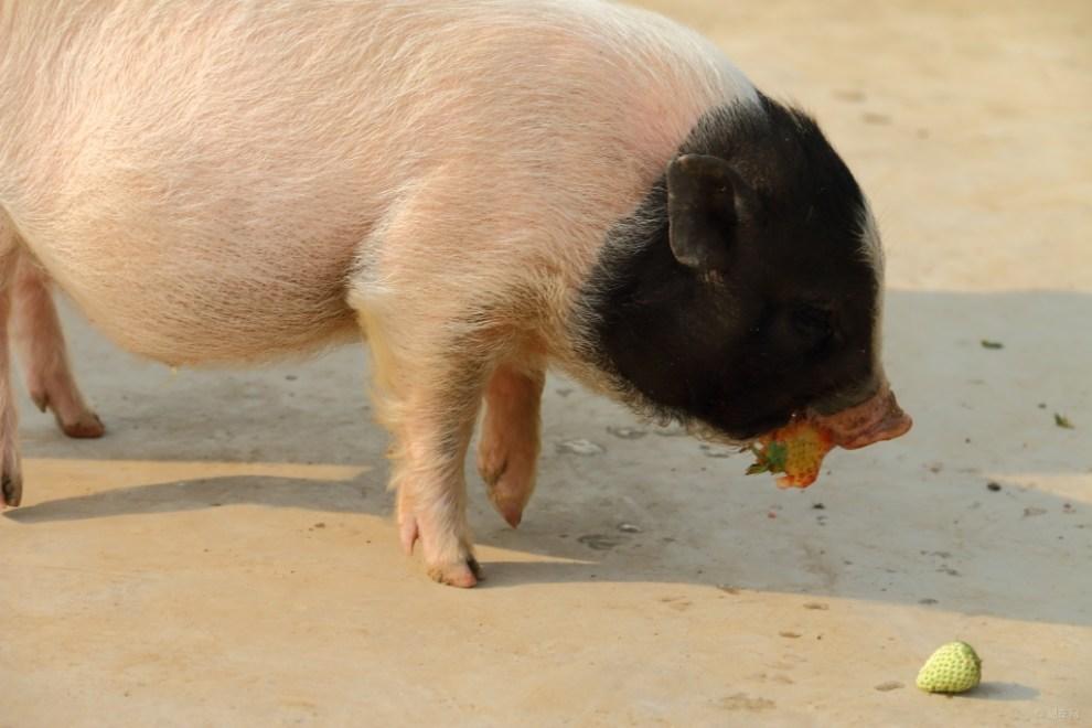 【开心萌宠迎新春】宠物猪恭喜大家快乐过新年