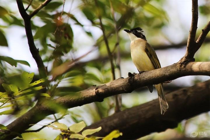 值得鹎吃大量的农林业益鸟,是农林害虫之一,白头v益鸟.福临长春石锅鱼图片