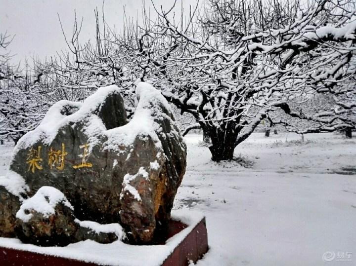 1,最具代表性的梨树王雪景
