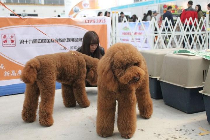 爱宠物节上看到的巨型泰迪犬,虽然个子比较大,但还是跟小泰迪一样跟人