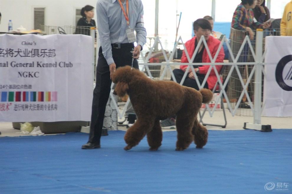 【巨型泰迪犬】_宠物当家社区图片集锦_汽车论坛-易车