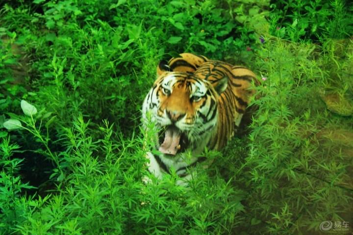 可爱老虎爬树图片