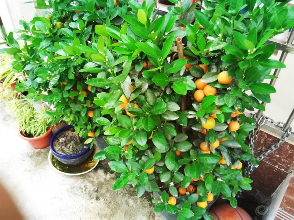 盆栽桔子树修剪方法图解
