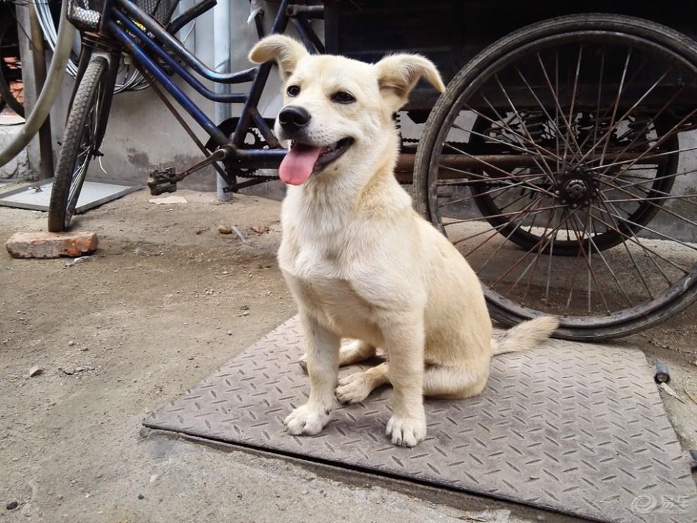 可爱的小黄狗