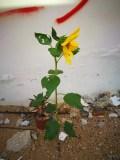 向日葵和红花