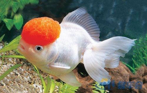 金鱼的身体结构图片