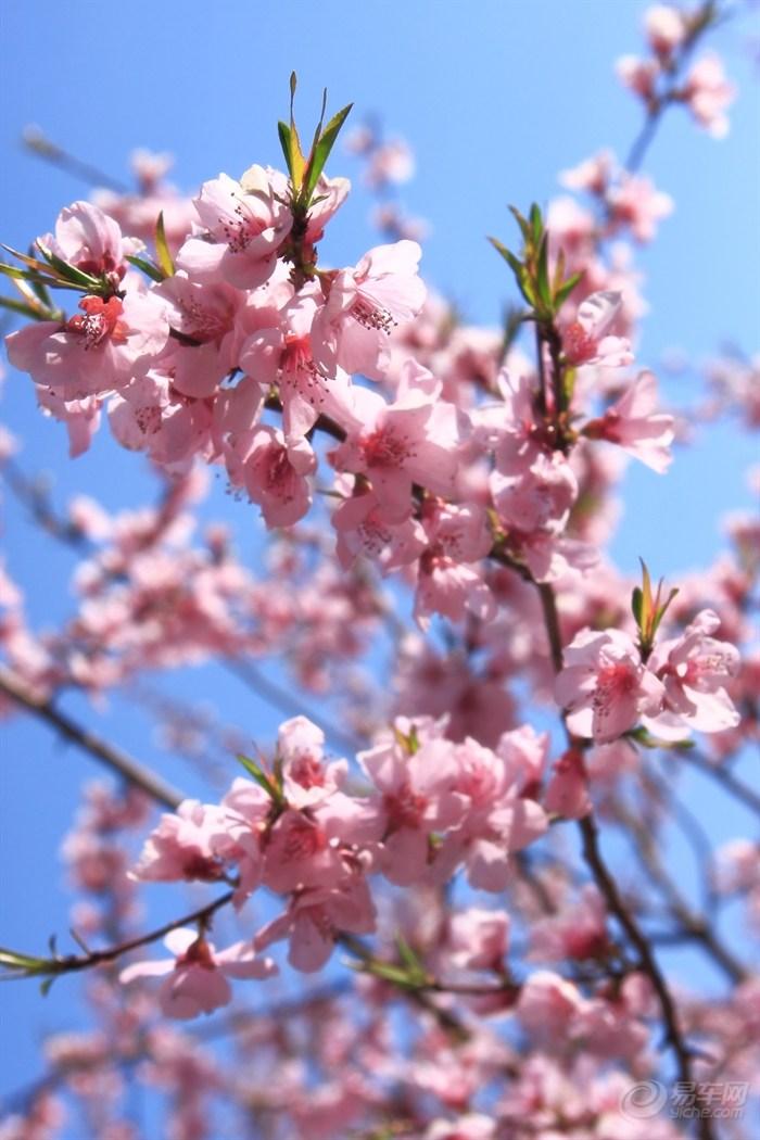 桃花素材竖屏图片大全