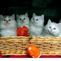 玲珑的小花猫